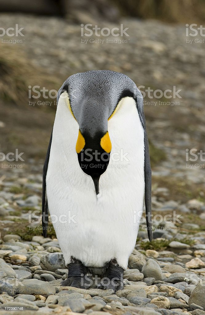 King Penguin leaning forward royalty-free stock photo