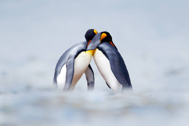 King penguin mating couple cuddling in wild nature, snow and ice. Pair two penguins making love. Wildlife scene from white nature. Bird behavior, wildlife scene from nature, South Georgia, Antarctica. stock photo