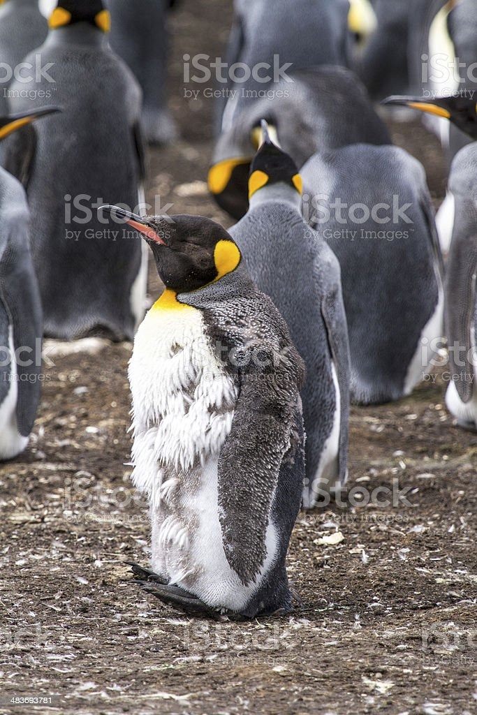 King Penguin Moulting stock photo