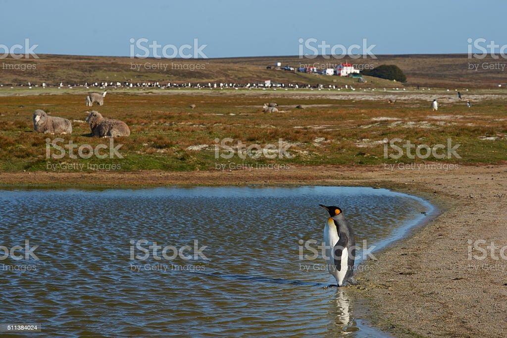 King Penguin on a Sheep Farm stock photo