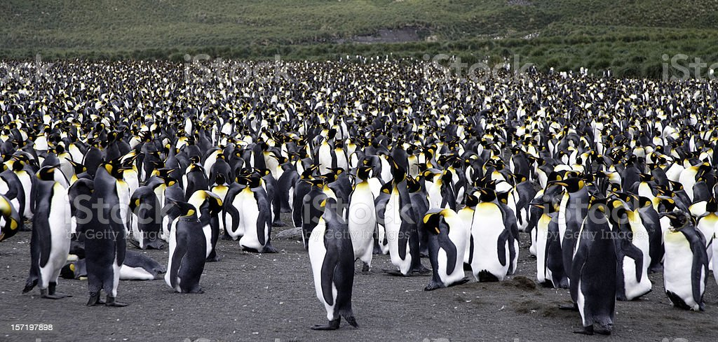 King Penguin Panorama 01 royalty-free stock photo