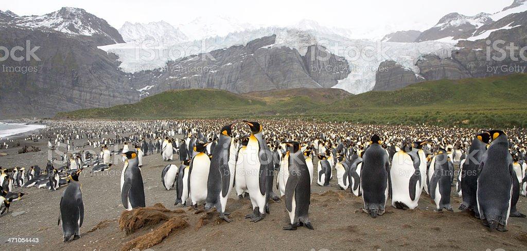 King Penguin Panorama 02 royalty-free stock photo