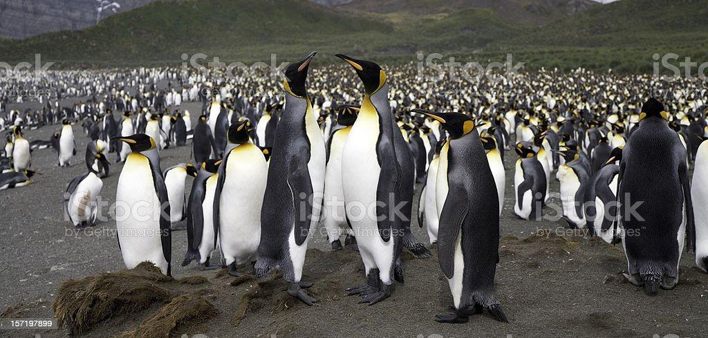 King Penguin Panorama 03 stock photo