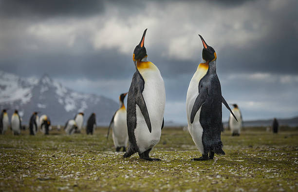 King Penguin Two King Penguins in love. Shot in front of the rugged South Georgia landscape. south georgia island stock pictures, royalty-free photos & images