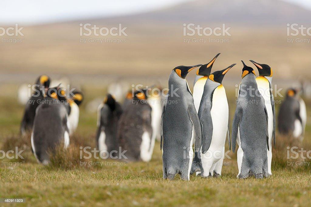 King Penguin stock photo