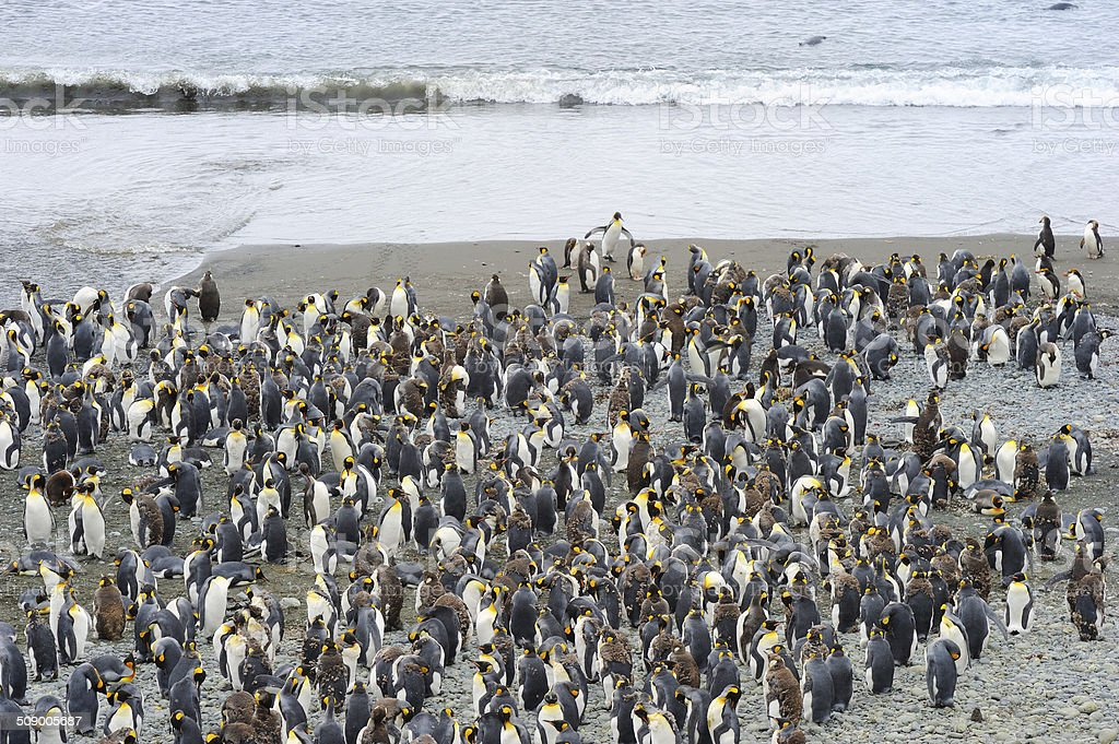 King Penguin (Aptenodytes patagonicus) royalty-free stock photo