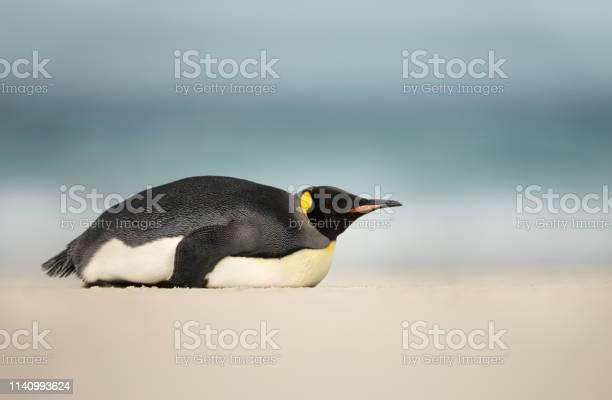 Photo of King penguin sleeping on a sandy beach