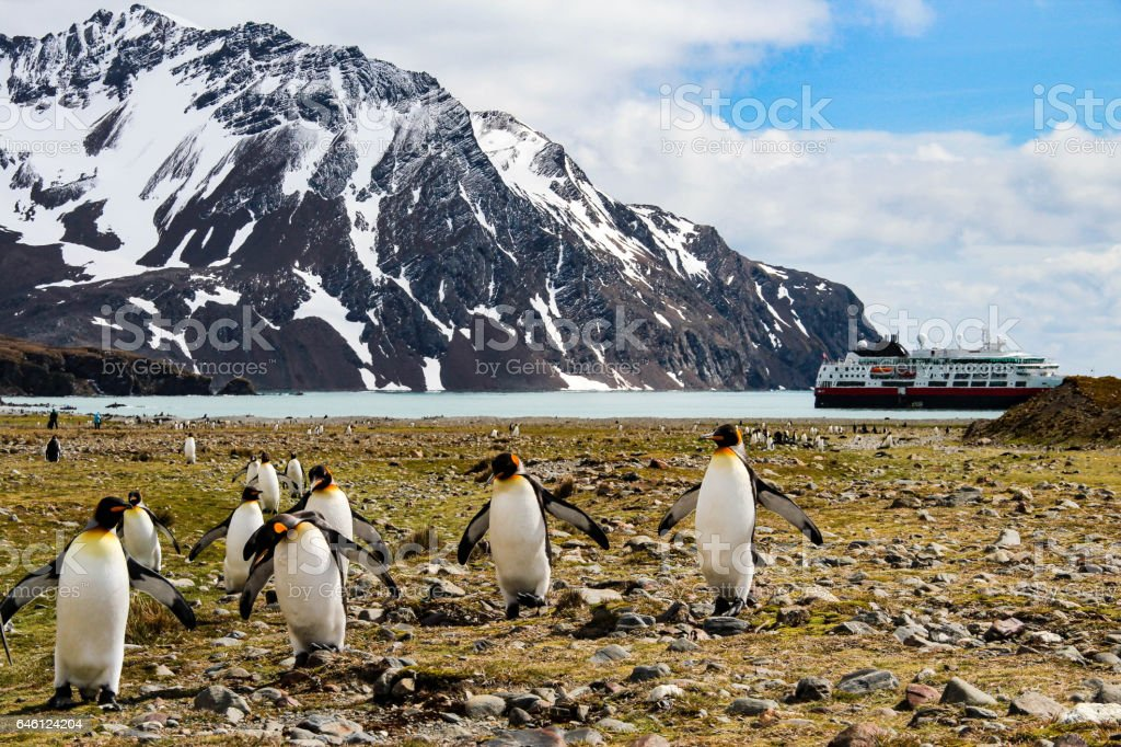 King penguin, South Georgia, Antarctica stock photo