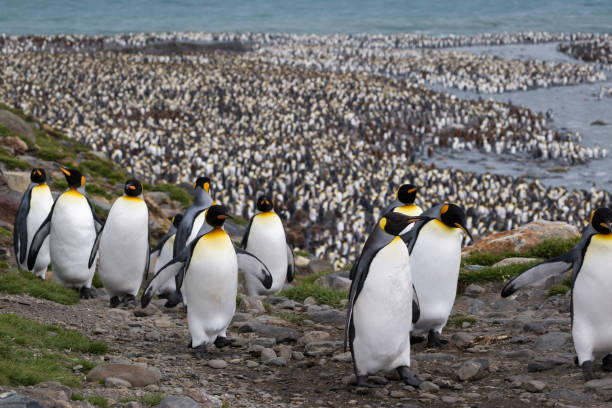 King penguin stand on a ridge with a massive colony behind them on South Georgia Island stock photo