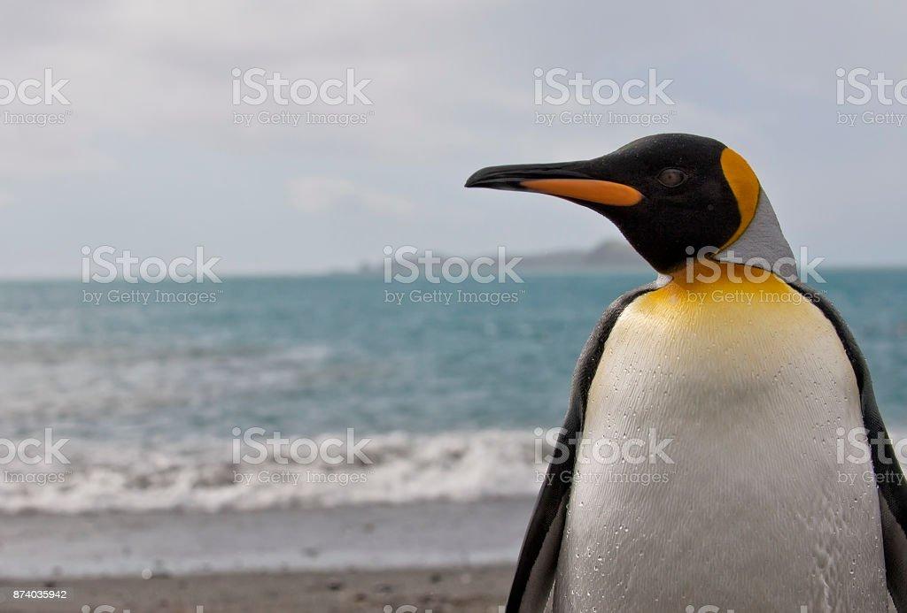 King Penguin up close stock photo