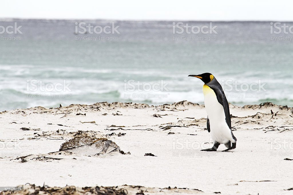 King penguin walking along the beach, falkland islands royalty-free stock photo