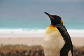 King Penguin walking on a sandy beach