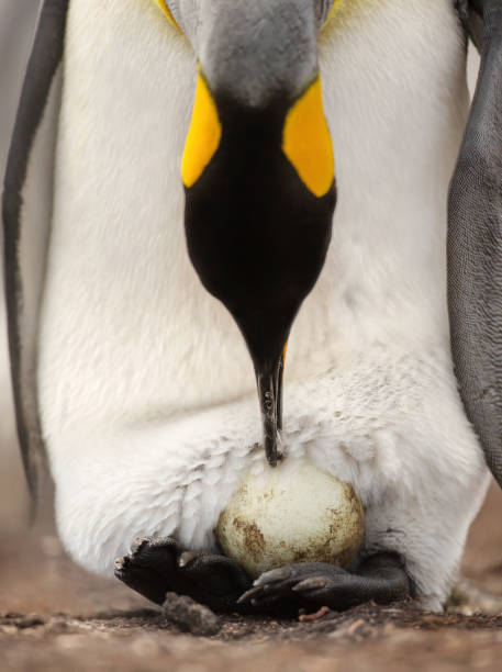King penguin with an egg on feet waiting for it to hatch stock photo