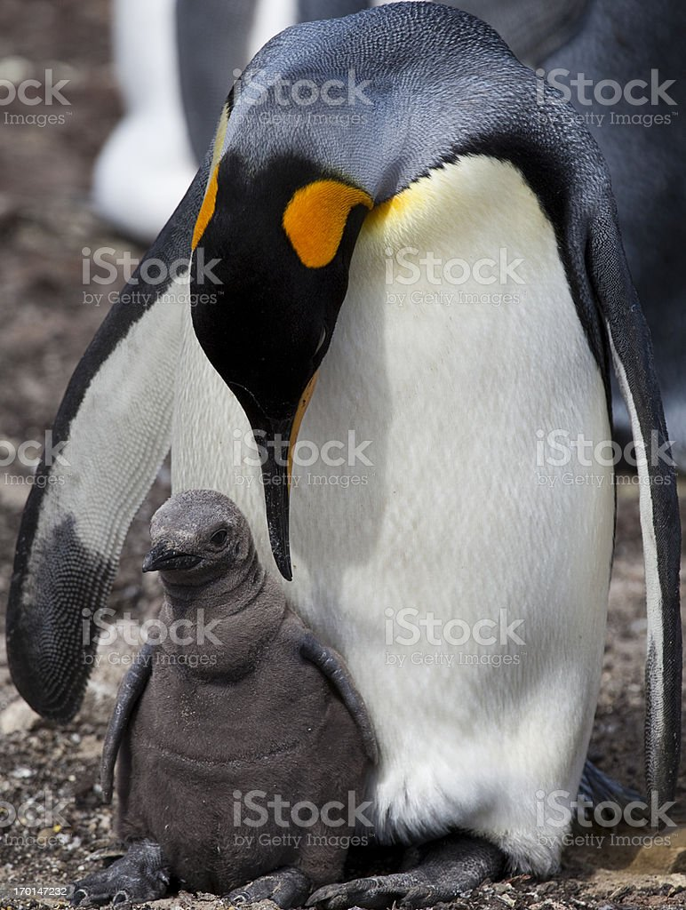 King Penguin with chick, Falkland Islands stock photo