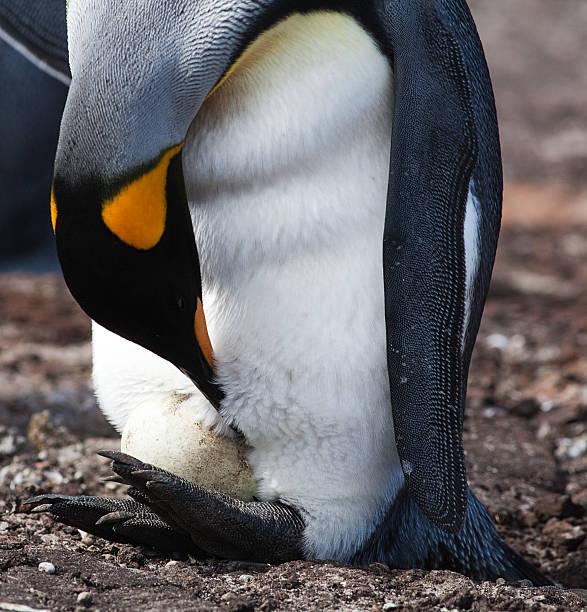 King Penguin with Egg, Falkland Islands stock photo