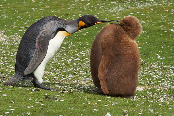 King Penguin with Hungry Chick stock photo