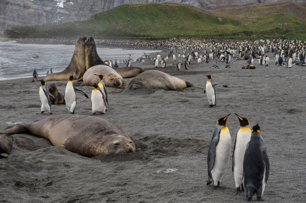 King Penguins and Elephant Seals - Gold Harbour, South Georgia stock photo