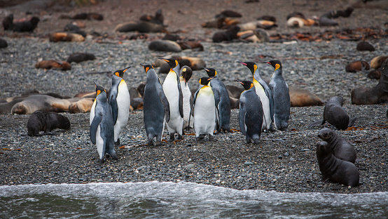 Wilderness Panorama of King Penguin Colony and Seals living together at the natural Beach of South Georgia. South Georgia, Sub-Antarctic Islands, Antarctica