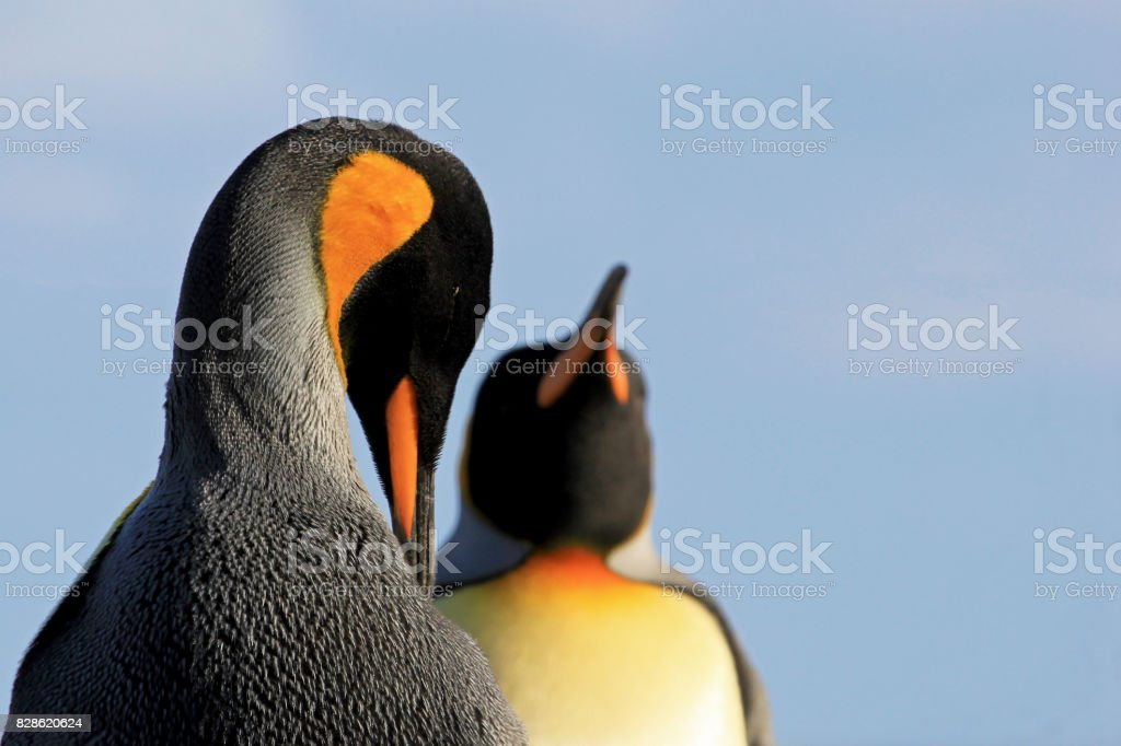 King penguins, aptenodytes patagonicus, Saunders, Falkland Islands stock photo