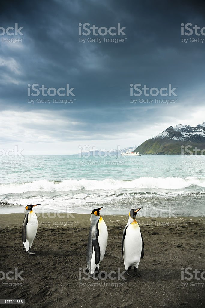 King Penguins at Beach South Georgia stock photo