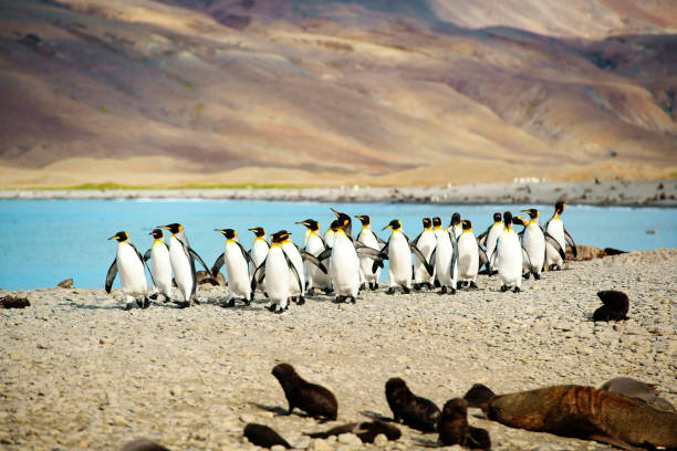 King Penguins at Beach South Georgia King Penguins at Beach South Georgia south georgia island stock pictures, royalty-free photos & images
