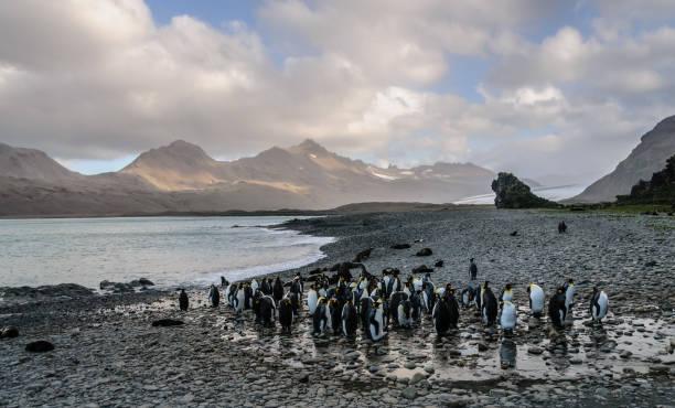 King Penguins at Fortuna Bay stock photo