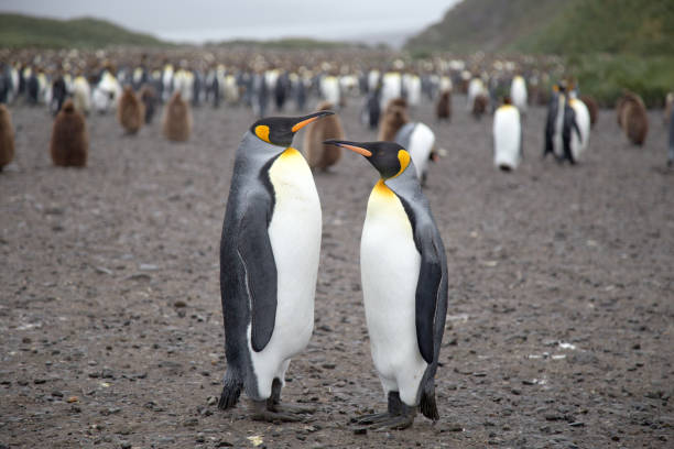 King Penguins at Salisbury Plain, South Geogia. stock photo