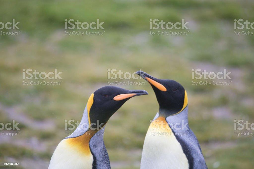 King Penguins at Salisbury Plain, South Georgia. stock photo