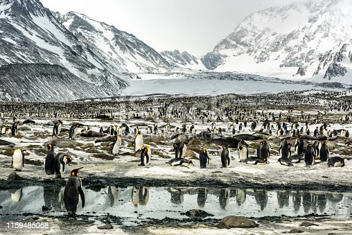 Thousands of king penguins reflected in waters on South Georgia Island