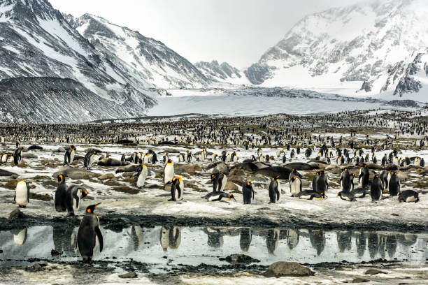 King Penguins at St. Andrews Bay in South Georgia Island Thousands of king penguins reflected in waters on South Georgia Island south georgia island stock pictures, royalty-free photos & images