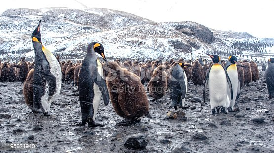 Mother feeding baby king penguin on St Andrews Bay in South Georgia Island