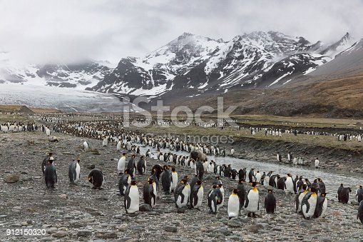 istock King penguins at St Andrews Bay, South Georgia Island 912150320