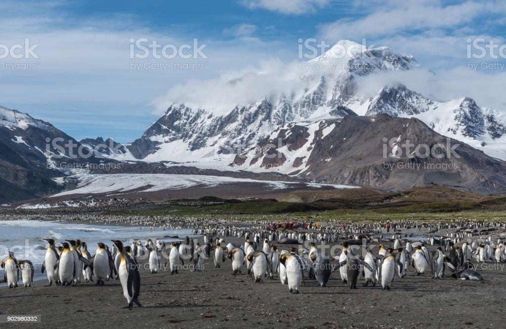 King Penguins at St Andrews Bay South Georgia stock photo
