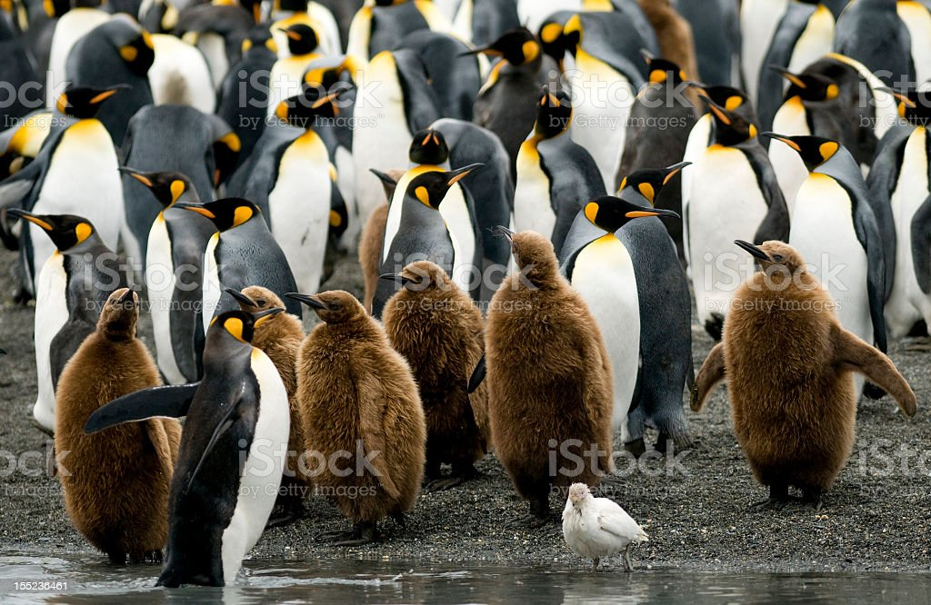 King Penguins at the Water's Edge stock photo