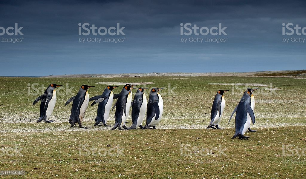 King penguins at Volunteer Beach stock photo