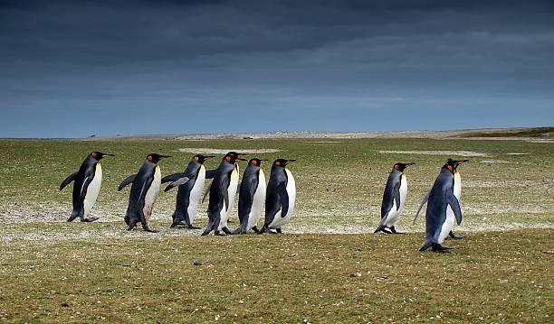 King penguins at Volunteer Beach stock photo