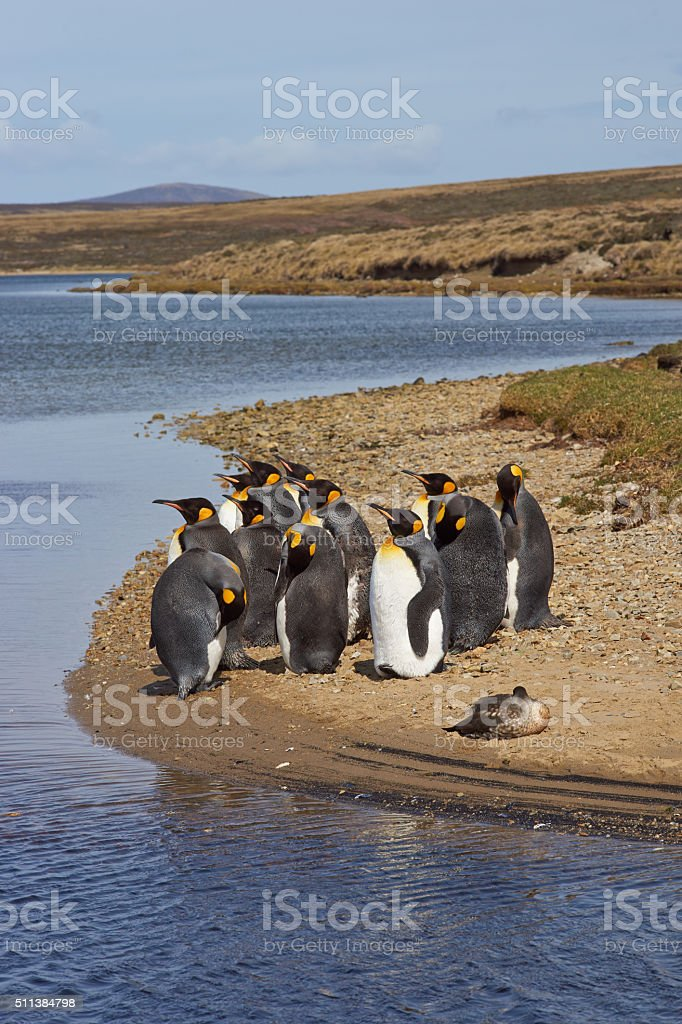 King Penguins at Volunteer Point stock photo