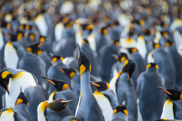 King Penguins colony Gold Harbour stock photo