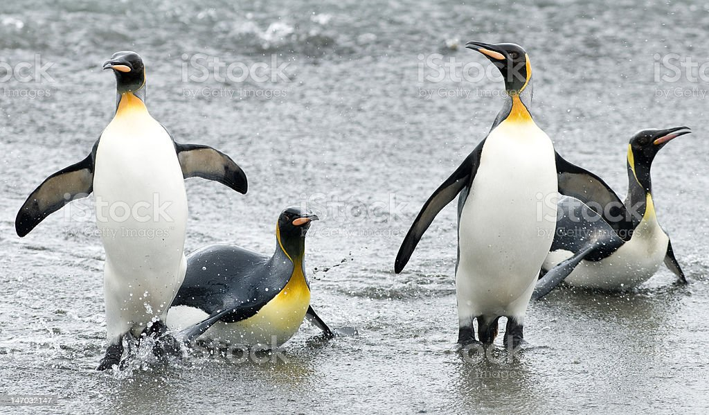 King penguins coming out of water stock photo
