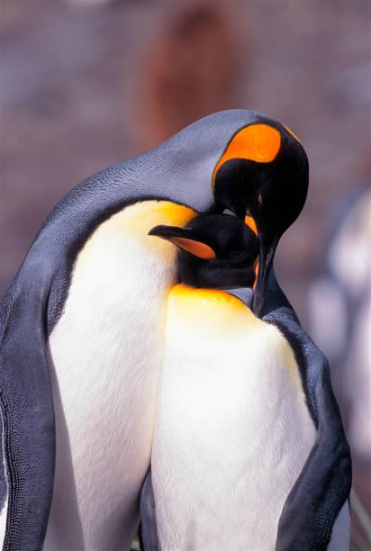 King Penguins Cuddling stock photo