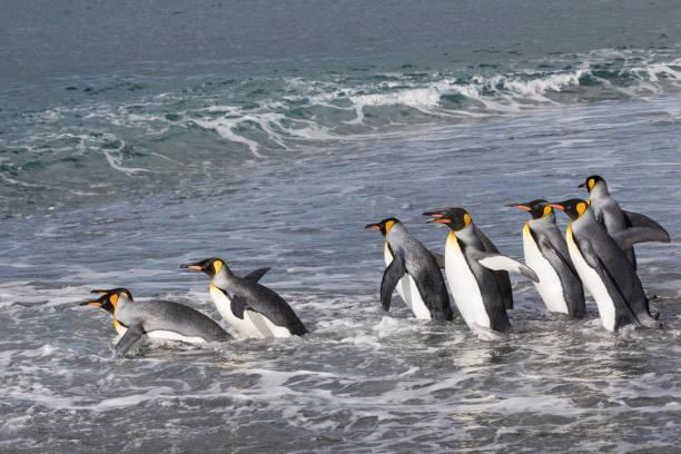 koning pinguïns invoeren van de atlantische oceaan vanaf het strand bij salisbury plain, zuid-georgië eiland - pinguins swimming stockfoto's en -beelden