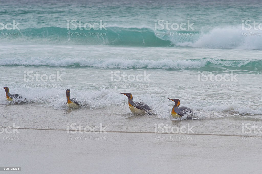 King Penguins - Falkland Islands stock photo