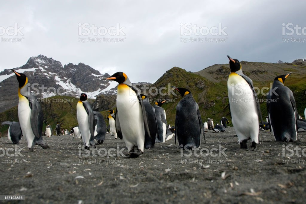 King Penguins from Below stock photo