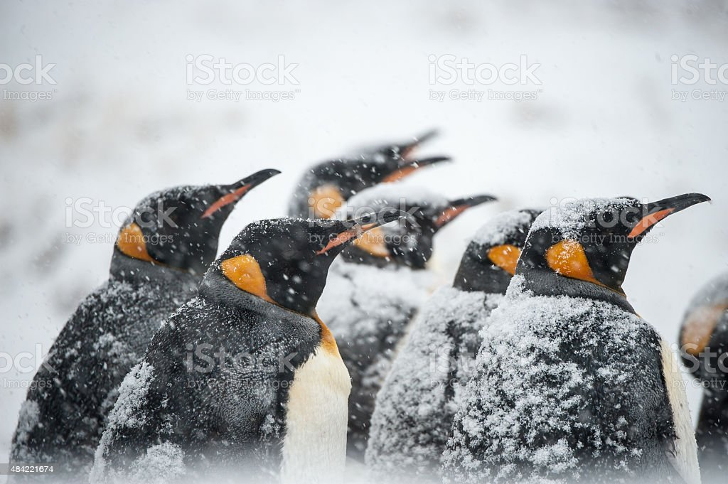 King Penguins in a snowstorm in South Georgia Antarctica stock photo