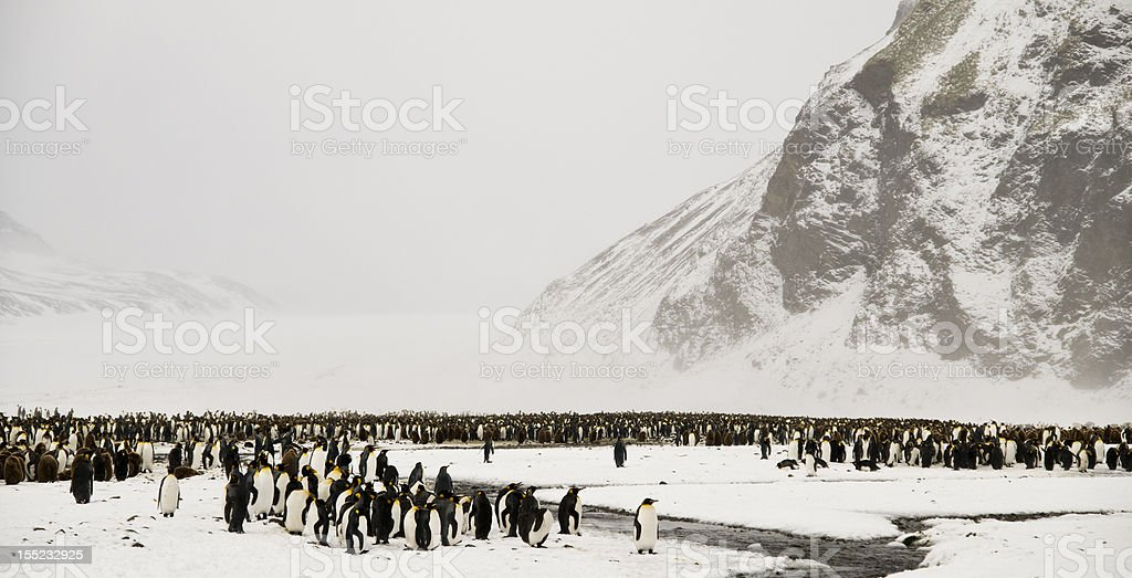 King Penguins in a Snowy Wonderland stock photo