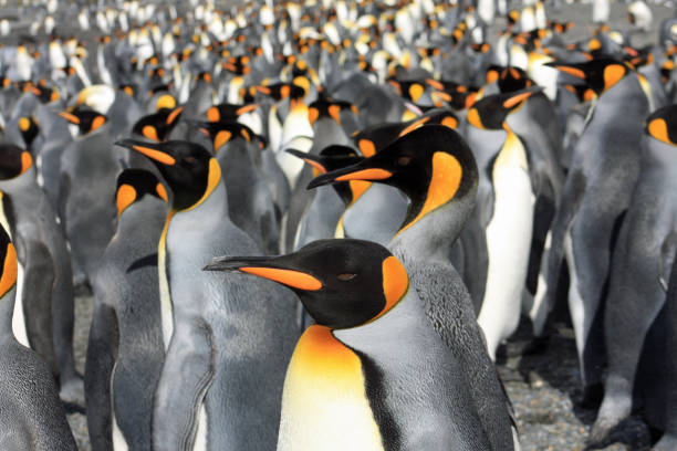 King penguins in South Georgia stock photo