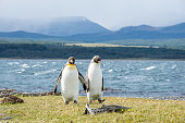 Two King penguins walk together on Isla Martillo near Ushuaia, Argentina in Patagonia.