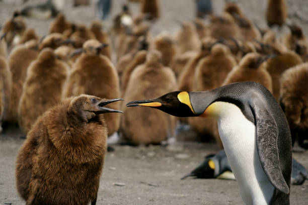 King Penguins looking for directions on South Georgia Island King Penguins looking for directions on South Georgia Island south georgia island stock pictures, royalty-free photos & images