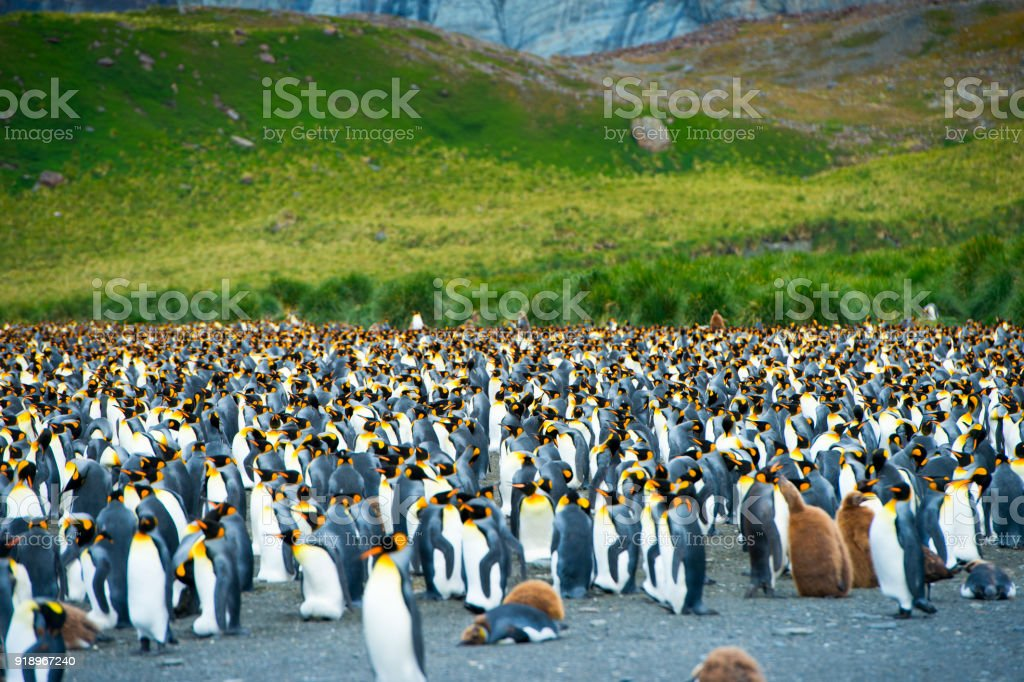 King Penguins looking for directions on South Georgia Island stock photo