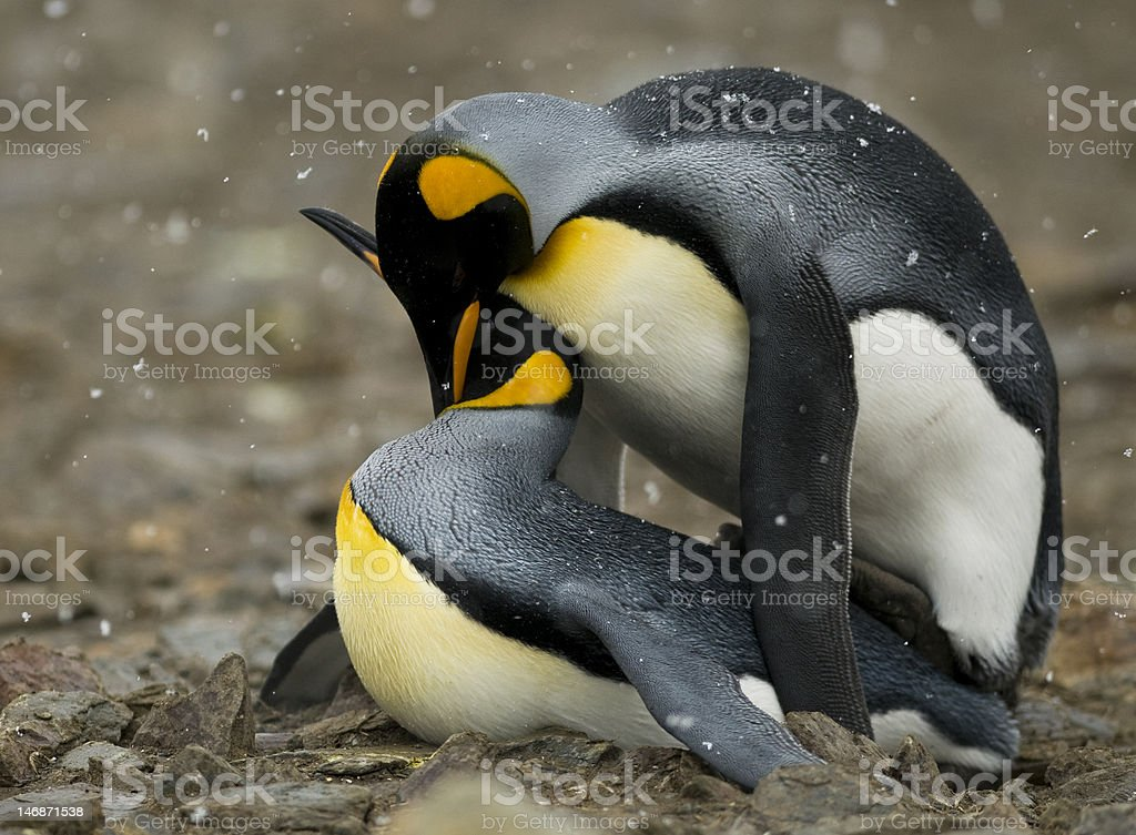 King penguins mating (side view) stock photo